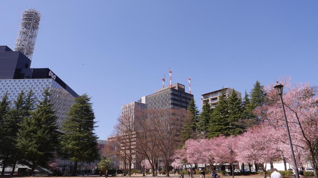 仙台錦町公園の桜